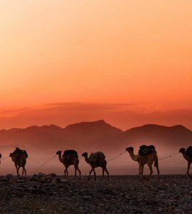 Camels walking against orange sky in Ethipia