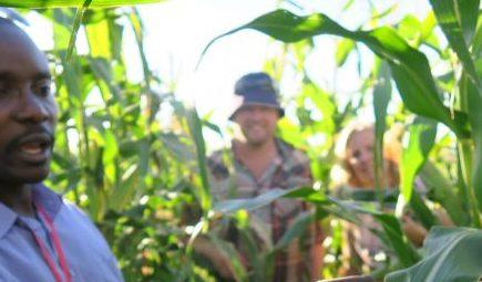 Man in blue shirt holding corn cub in field