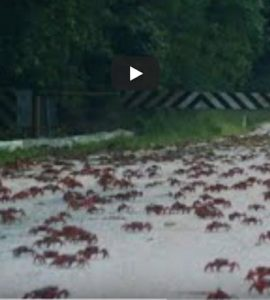Crabs migrating on Christmas Island