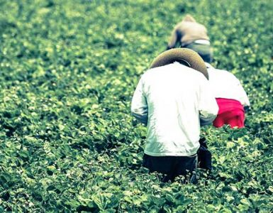 Agricultural workers with caps bending over to pick in green field